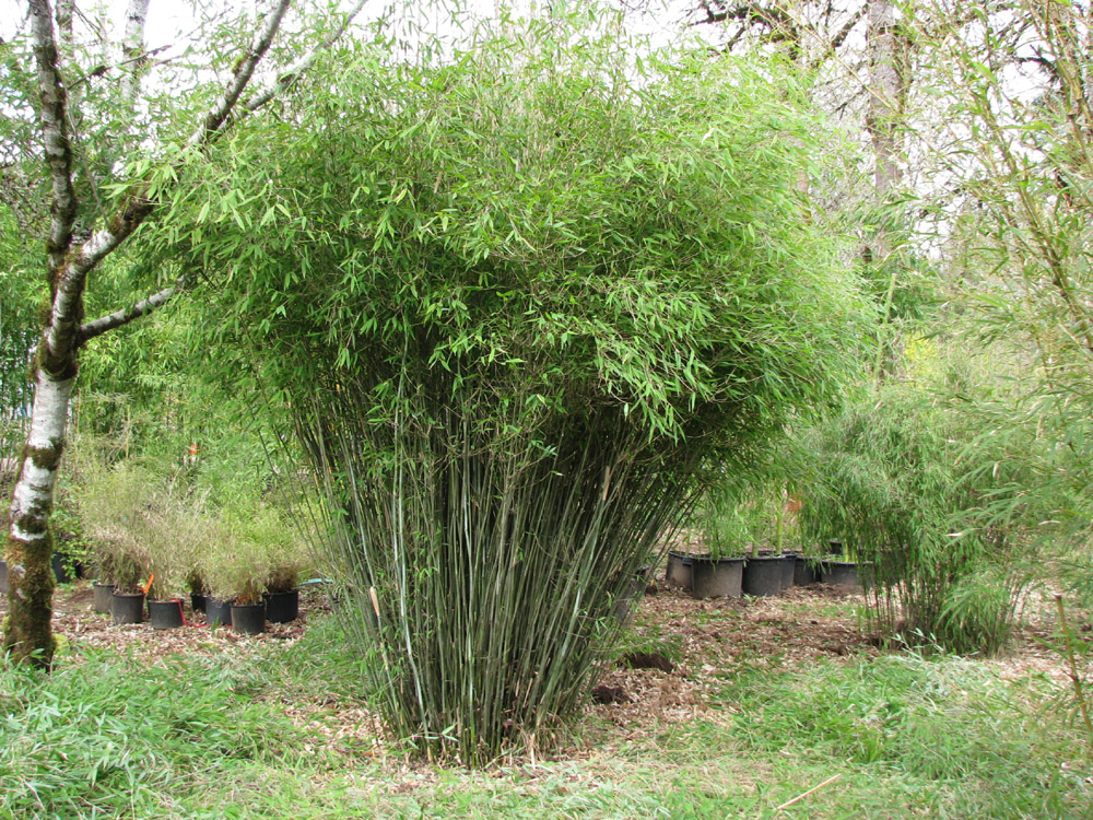 Cold Hardy Clumping Bamboo